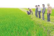 Thanh Hóa triển khai mô hình sản xuất lúa hữu cơ