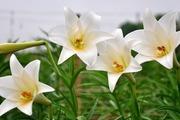 Người dân Tây Tựu tất bật thu hoạch hoa loa kèn nở sớm