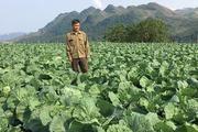 Trồng rau bắp cải xanh giữa bốn bề núi trọc, lời 800 triệu/năm