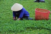Xã đạt chuẩn nông thôn mới nhờ trồng rau má