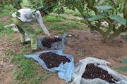 Dâu chín ở ngoại thành Hà Nội, lái buôn vào tận vườn trả tiền khi thu mua