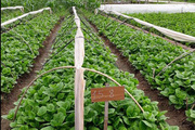 """Nông dân """"bắt tay"""" doanh nghiệp sản xuất rau an toàn theo chuỗi"""