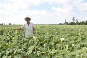 Sóc Trăng chuyển đổi cây trồng gắn với an toàn sinh học
