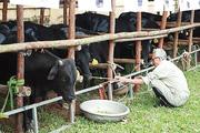 Hà Nội, Thái Bình - hạt nhân chăn nuôi đại gia súc