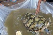 Bắt được rùa biển quý hiếm trong sông nước ngọt