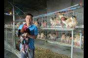 Hưng Yên: Một chủ trang trại bán được 10.000 giống gà lai Đông Tảo ông, bà