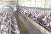Hết dịch tả lợn châu Phi, bao giờ được tái đàn?