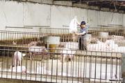"""Giải pháp chăn nuôi lợn trong """"bão"""" dịch"""