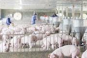 """Chăn nuôi lợn an toàn sinh học - """"vũ khí"""" ngăn dịch"""