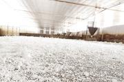 Hộ chăn nuôi tự ý tái đàn, chống dịch khó càng thêm khó