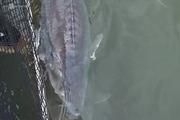 Trại cá tầm 'khổng lồ', nhiều con nặng gần 60 kg ở Sơn La
