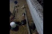 Phú Thọ: Hỗ trợ... gà nhiễm dịch cho hộ nghèo?