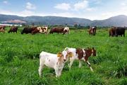 Vinamilk với tham vọng xây dựng đàn bò hữu cơ khổng lồ