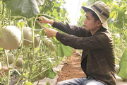 Chàng 9X khéo tay trồng dưa lưới trĩu quả trên vùng đất sỏi