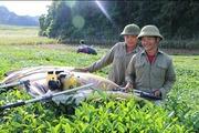 Mộc Châu thu hoạch 38.000 tấn quả, xuất khẩu hàng trăm tấn xoài