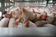 Thực hư thông tin Tập đoàn DABACO tăng giá bán lên 2 triệu đồng/con lợn giống
