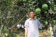 Đặc sản bưởi da xanh Hòa Ninh có gì đặc biệt?