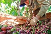 Thị trường cà phê Việt ảm đạm do dư thừa nguồn cung