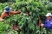 """Vì sao xuất khẩu cà phê liên tục """"tụt dốc"""" trong năm 2019?"""