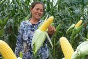 Bắp ngô ngọt sang Hàn Quốc giá 180 nghìn đồng