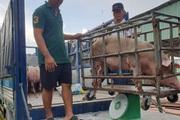 Giá heo hơi hôm nay 5/1: Hà Nội vẫn duy trì ở mức cao 90.000 đồng/kg