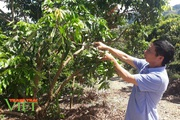 Điểm sáng trồng cây ăn quả trên đất dốc ở Yên Châu