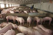 """Giá heo """"bốc hơi"""" 10.000 đồng/kg chỉ trong 1 tháng, người chăn nuôi đứng ngồi không yên"""