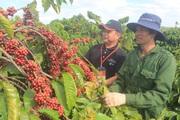 Tây Nguyên: Mỗi năm có 180.000ha cà phê già cỗi cần tái canh