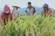 Lợi ích kép khi sản xuất lúa theo hướng hữu cơ gắn với BVMT