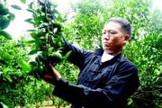 """Hà Giang: Làm giàu từ """"vàng xanh"""", ở đây có hàng chục tỷ phú nông dân"""