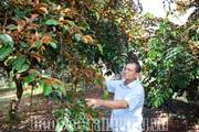 Sóc Trăng: Ở nơi này, nông dân giàu có nhờ trồng cây đặc sản, trái căng mọng ngọt ngon còn bán được sang Mỹ