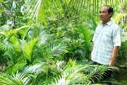 Bến Tre: Lạ, trồng cau không bán trái, chỉ bán lá, một ông nông dân giàu lên thấy rõ