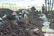 Vĩnh Long: Khoai lang tím Nhật giá bán cao chót vót, ở đây nhà nào trồng khoai lang đều mừng