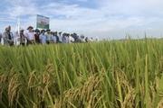 Giống lúa VNR20 giúp nông dân Bắc Ninh yên tâm sản xuất