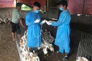 Phòng, chống dịch bệnh gia súc, gia cầm: Không để bùng phát dịp cuối năm