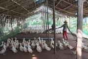 Giá gia cầm hôm nay 15/11: Gà, vịt thịt liên tục mất giá, nhiều chủ trại bỏ cuộc, không tái đàn vụ Tết
