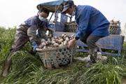 """Trồng cây """"ở sạch"""" ai cũng biết, hái trên, nhổ dưới, có hàng xuất khẩu đều đều, nông dân dễ dàng thu lời đậm"""