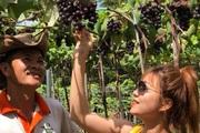 Đồng Nai: Vườn nho Ninh Thuận cây nào cũng đeo quả từng chùm ngọt ngon khiến khách kéo đến nườm nượp