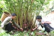 """Chuyện giảm nghèo ở """"lõi nghèo"""" Tây Bắc (bài 3): Người Mông ở Sơn La khá giả nhờ cây thảo quả"""