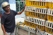 Trà Vinh: Nông dân xã nghèo vui mừng nhận gà đẻ miễn phí mang về nuôi lấy trứng