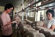 Ứng dụng công nghệ mới sản xuất nấm linh chi
