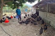 """Điện Biên: Mát tay nuôi gà thả vườn đi lang thang ở trang trại mênh mông, ông nông dân """"tay ngang"""" kiếm bộn tiền"""