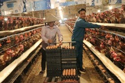 """Hà Nội: Trang trại nuôi hàng nghìn con gà đẻ, mỗi ngày nhặt hơn 5 nghìn quả trứng, nông dân này """"bỏ túi"""" nửa tỷ/năm"""