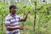 Quảng Ngãi: Dân vùng này trồng thứ cây dây leo ra trái rất lạ, bán đắt tiền
