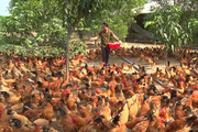 Quảng Trị: Gà Cùa không phải 1 giống gà mà là gà nuôi theo kiểu này ở huyện Cam Lộ