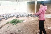 Quảng Trị: Nuôi thứ gà bay nhảy như chim, đẻ quả trứng vỏ cứng, nông dân bán cả gà và trứng đều đắt hàng