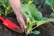 """""""Bỏ túi"""" cách trồng cải ngồng dễ như bỡn ai cũng làm được"""