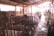 """Video: Chăm phun thuốc phòng dịch, hộ chăn nuôi ở Ninh Bình vẫn """"dính"""" tả lợn Châu Phi"""