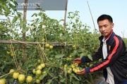 Bắc Giang: Cà chua VNS390 là giống gì mà thương lái rất thích mua, nông dân thu nhập tới 300 triệu/ha?