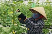 Hà Nam: Sau 4 năm mô hình trồng dưa lưới đạt được kết quả gì?